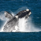 Southern Right Whales can be spotted on the South African coastline from June to early December. Hermanus is known as arguably the best land-based whale watching destination in the world.