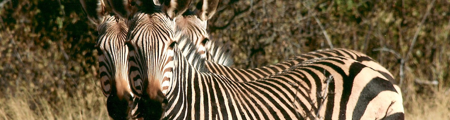 Zebra, Safaris Southern Africa, Incentive tours Southern Africa